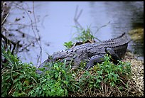 Alligator (scientific name: Alligator mississippiensis). Everglades National Park, Florida, USA. (color)