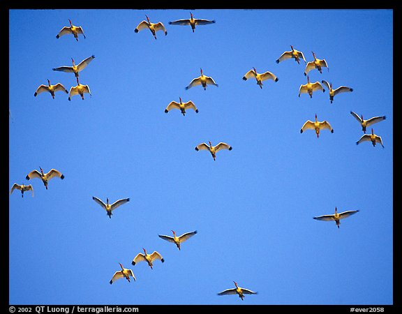 Flock of white ibis in flight. Everglades National Park (color)