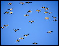 Flock of white ibis in flight. Everglades National Park, Florida, USA.