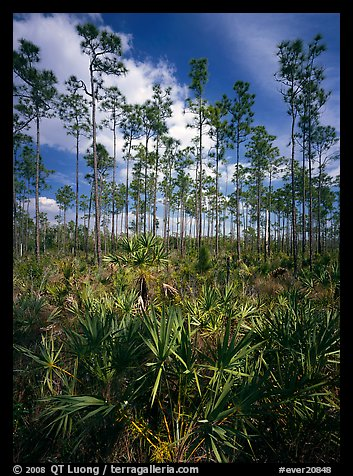 Slash pines and saw-palmetttos, remnants of Florida's flatwoods. Everglades  National Park (color)