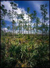 Slash pines and saw-palmetttos, remnants of Florida's flatwoods. Everglades  National Park ( color)