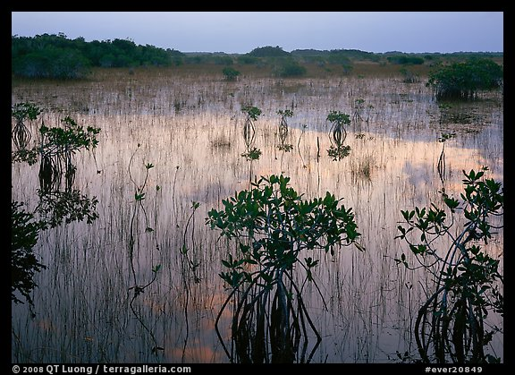 Mangrove shrubs several miles inland near Parautis pond, sunrise. Everglades National Park (color)