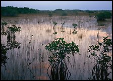 Mangrove shrubs several miles inland near Parautis pond, sunrise. Everglades National Park, Florida, USA.