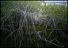 Red mangroves on West Lake. Everglades National Park, Florida, USA. (color)