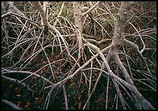 Red mangroves. Everglades  National Park ( color)