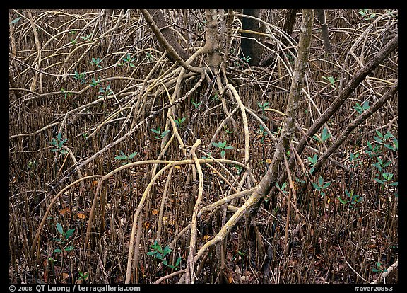 Intricate root system of red mangroves. Everglades National Park, Florida, USA.