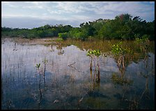 Mixed marsh ecosystem with mangrove shrubs near Parautis pond, morning. Everglades National Park, Florida, USA. (color)