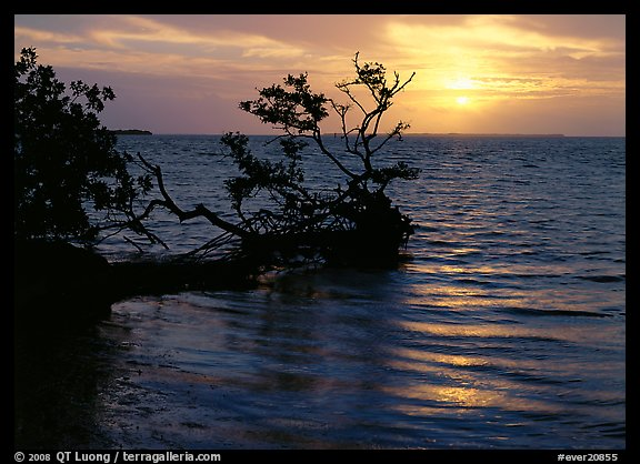 Fallen mangrove tree in Florida Bay, sunrise. Everglades  National Park (color)