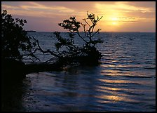Fallen mangrove tree in Florida Bay, sunrise. Everglades National Park, Florida, USA. (color)