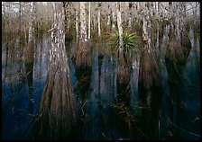 Cypress dome with trees growing out of dark swamp. Everglades National Park, Florida, USA.