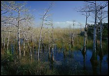 Pond Cypress (Taxodium ascendens) near Pa-hay-okee, morning. Everglades National Park, Florida, USA.