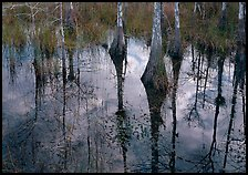 Cypress trees reflected in pond. Everglades National Park, Florida, USA.