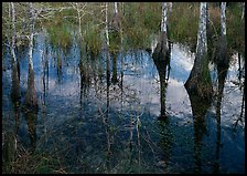 Bald Cypress reflections near Pa-hay-okee. Everglades National Park, Florida, USA.