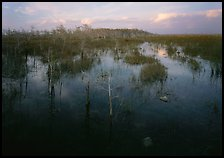 Freshwater marsh with Pond Cypress and sawgrass, evening. Everglades National Park, Florida, USA.