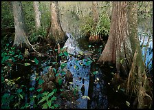 Large bald cypress (Taxodium distichum) and cypress knees in dark swamp water. Everglades National Park, Florida, USA. (color)