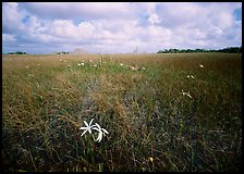 Swamp lilly (Crinum americanum) and sawgrass (Cladium jamaicense). Everglades National Park, Florida, USA.