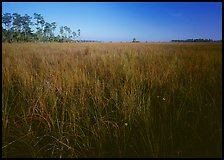 Sawgrass (Cladium jamaicense). Everglades National Park, Florida, USA.