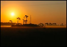 Sun rising behind group of pine trees. Everglades National Park, Florida, USA. (color)