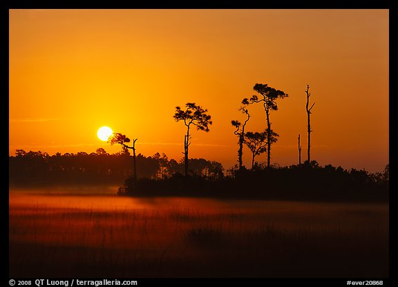 Sun rising behind group of pine trees with fog on the ground. Everglades  National Park (color)