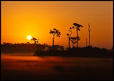 Sun rising behind group of pine trees with fog on the ground. Everglades National Park, Florida, USA. (color)