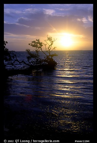 Sun rising over fallen Mangrove tree, Florida Bay. Everglades National Park (color)