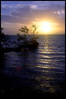 Sun rising over fallen Mangrove tree, Florida Bay. Everglades National Park, Florida, USA.