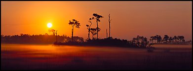 Sun rises above pine trees and a layer of mist on the ground. Everglades National Park (Panoramic color)