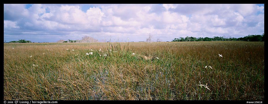 Marsh landscape with swamp lillies. Everglades National Park (color)