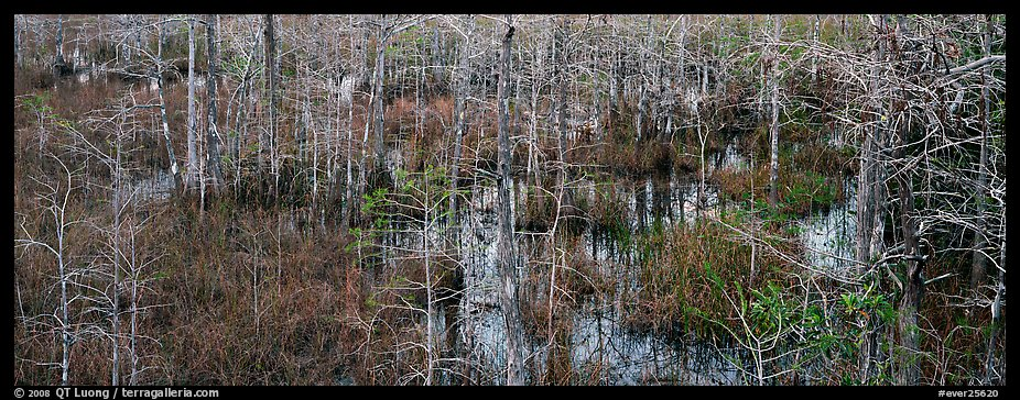 Cypress trees and marsh. Everglades National Park (color)