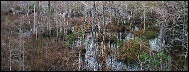 Cypress trees and marsh. Everglades National Park (Panoramic color)