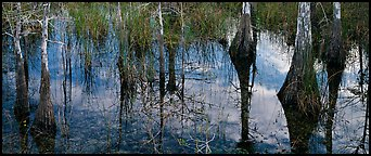 Calm sky and cypress trees reflections. Everglades National Park (Panoramic color)
