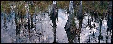 Cypress reflections. Everglades National Park (Panoramic color)