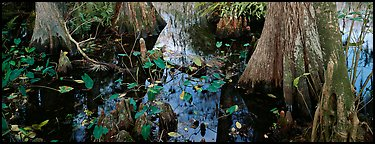 Large bald cypress roots and knees. Everglades National Park (Panoramic color)