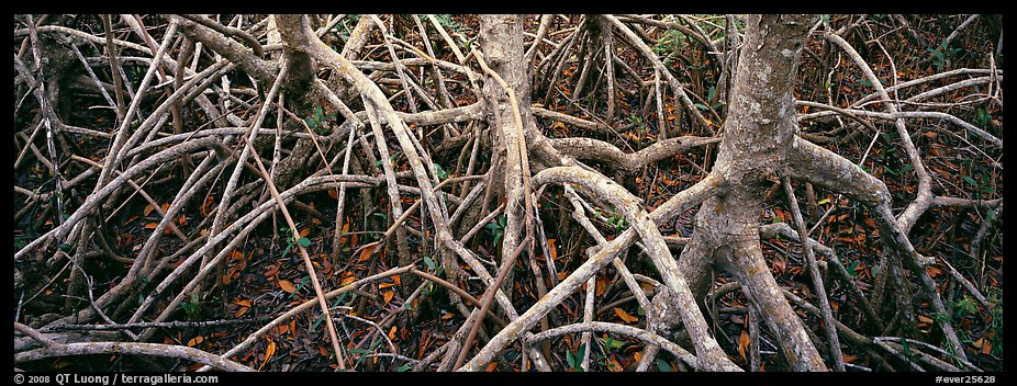 Tangle of mangrove roots and branches. Everglades National Park (color)