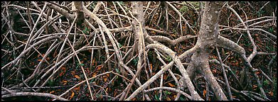 Tangle of mangrove roots and branches. Everglades National Park (Panoramic color)