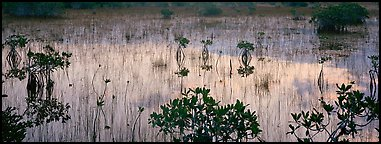 Mangroves and reflexions. Everglades  National Park (Panoramic color)