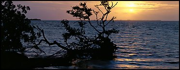 Mangroves and sunrise over Florida Bay. Everglades  National Park (Panoramic color)