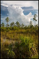 Palmetto, pines, and summer afternoon clouds. Everglades National Park, Florida, USA. (color)