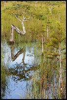 Old cypress shaped like letter Z. Everglades National Park, Florida, USA. (color)