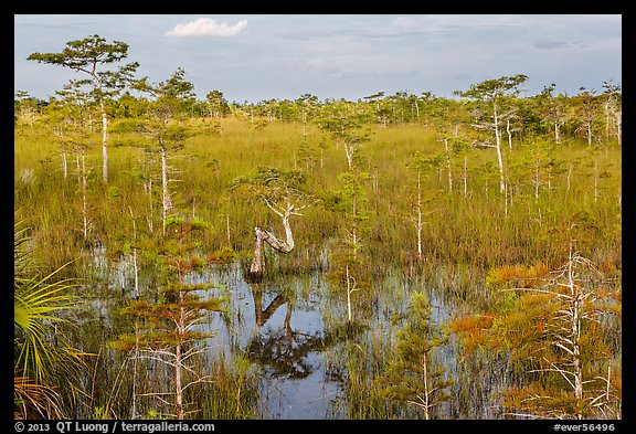 Cypress landscape with Z-tree. Everglades National Park (color)