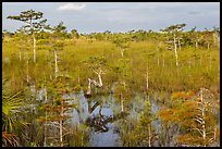 Cypress landscape with Z-tree. Everglades National Park, Florida, USA. (color)