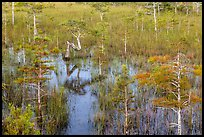 Dwarf cypress and N-shaped tree. Everglades National Park, Florida, USA. (color)
