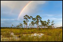 Rainbow over pine trees near Mahogany Hammock. Everglades National Park, Florida, USA. (color)