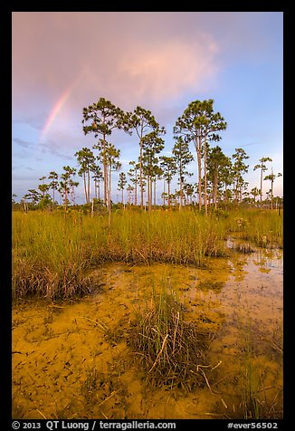 Pine trees and rainbow at sunset. Everglades National Park (color)