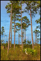 Great white heron amongst pine trees. Everglades National Park, Florida, USA. (color)