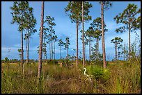 Pinelands with great white heron. Everglades National Park, Florida, USA. (color)