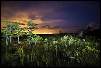Dwarf cypress at night, Pa-hay-okee. Everglades National Park, Florida, USA. (color)