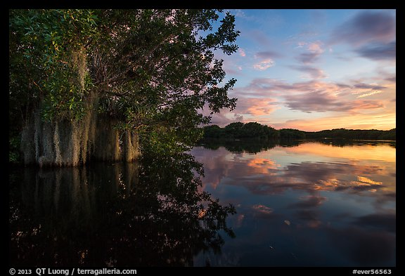 Trees with Spanish Moss in Paurotis Pond at sunset. Everglades National Park (color)
