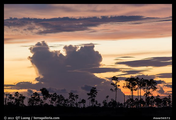 Pines and clouds at sunset. Everglades National Park (color)