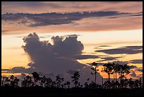 Pines and clouds at sunset. Everglades National Park ( color)